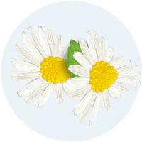icona fiore della camomilla